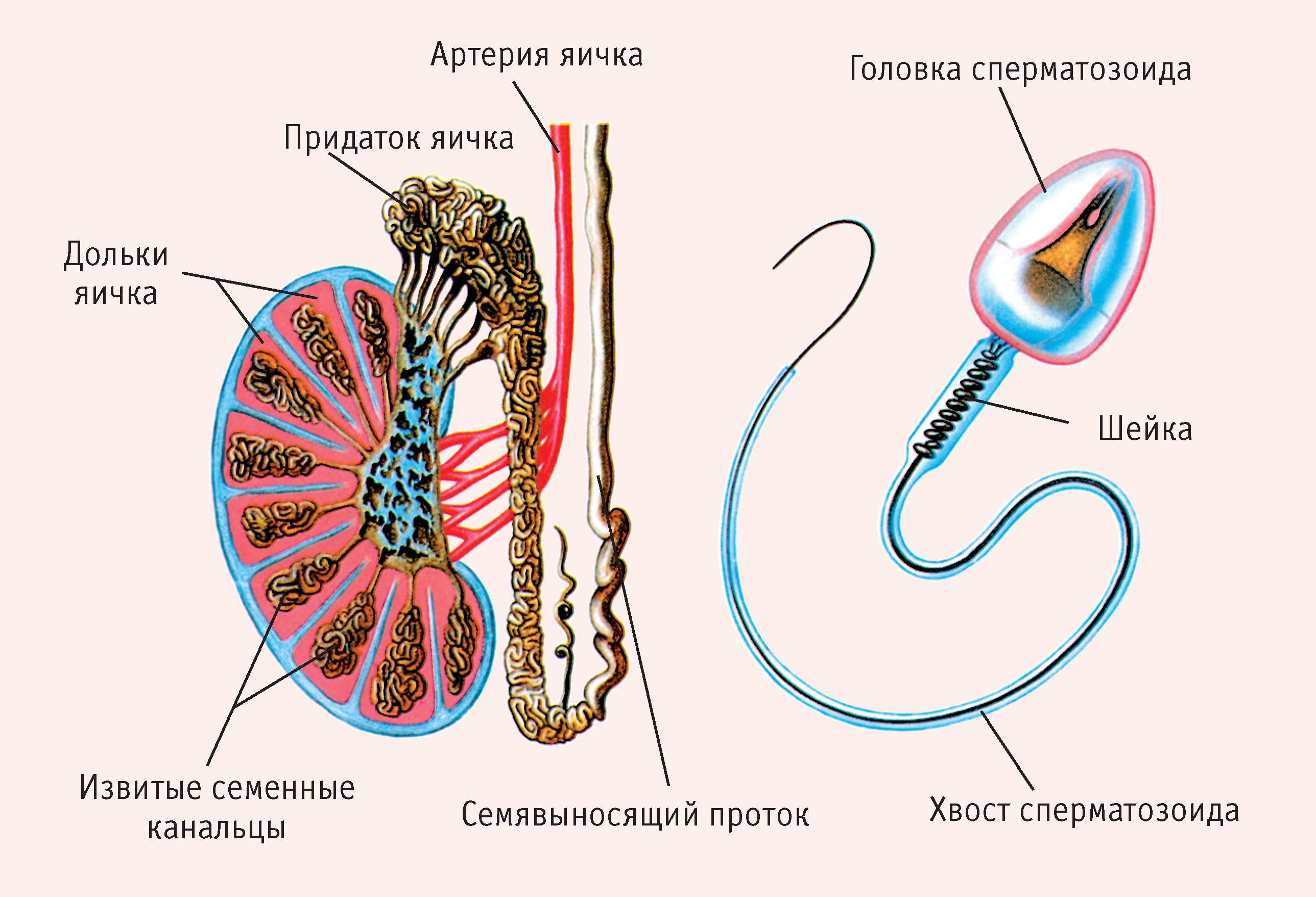 сущность сперматогенеза